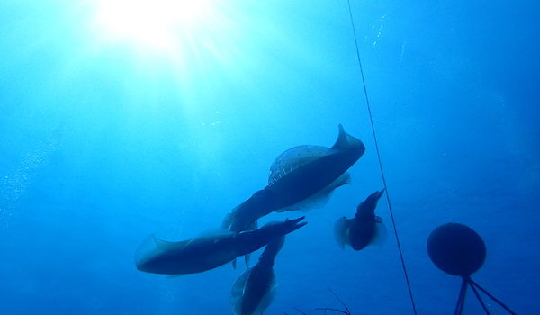 アオリイカの産卵が始まったようです。 静岡市のダイビングショップフリースタイルです。
